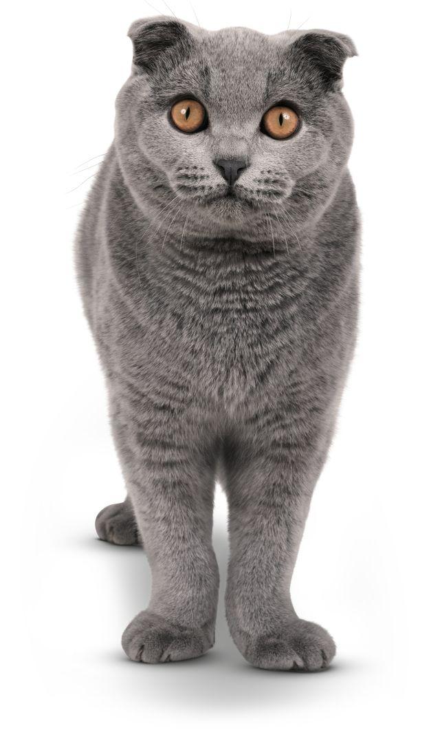 Asian cats uk