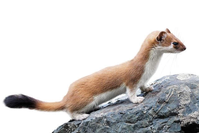 What does a mink look like