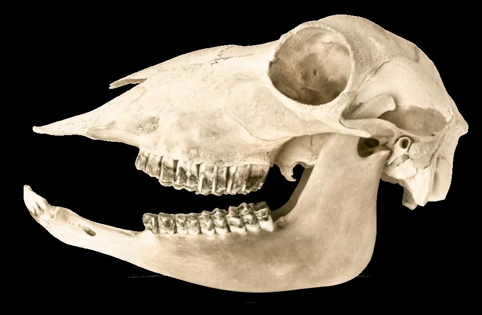 wolf skull diagram wolf skull painting