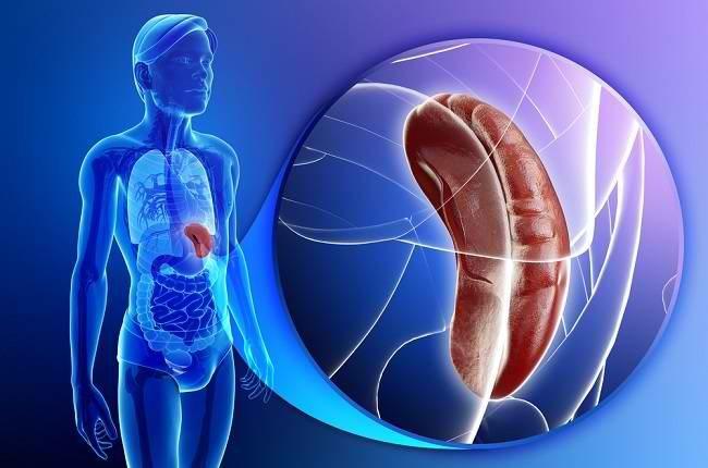 fungsi limpa sangat penting untuk sistem kekebalan tubuh - alodokter