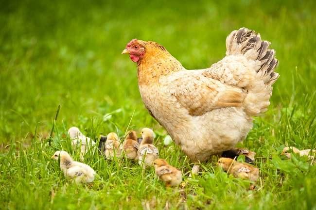 penyakit hewan ternak ini bisa menular ke manusia - alodokter