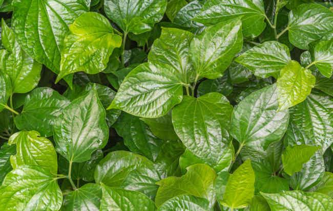 saatnya menguak rahasia di balik manfaat daun sirih merah - alodokter