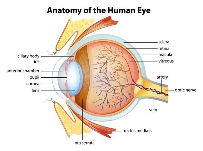 Melihat Lebih Dalam Anatomi Mata Anda - alodokter