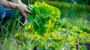 Ini Fakta Tentang Sayur Organik yang Perlu Anda Ketahui