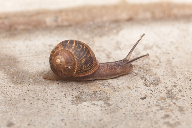 All about garden snails