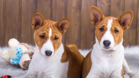 Собаки, которые не линяют: лучшие породы и нюансы ухода за ними