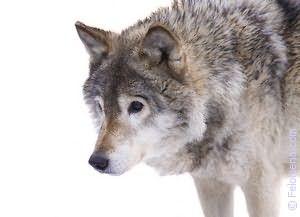 Сонник кусает волк за руку