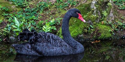 К чему снится черный лебедь
