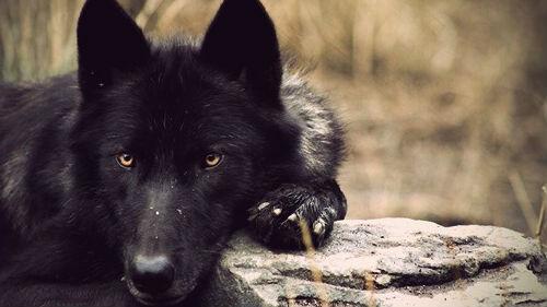 К чему снятся черные волки