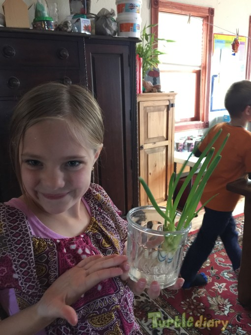 My regrown green onions - Earth Day Contest April 2015 Submission