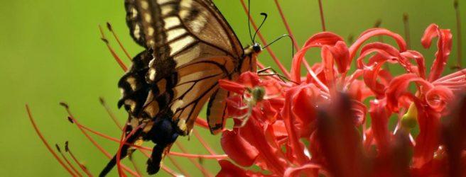 К чему снятся черные бабочки