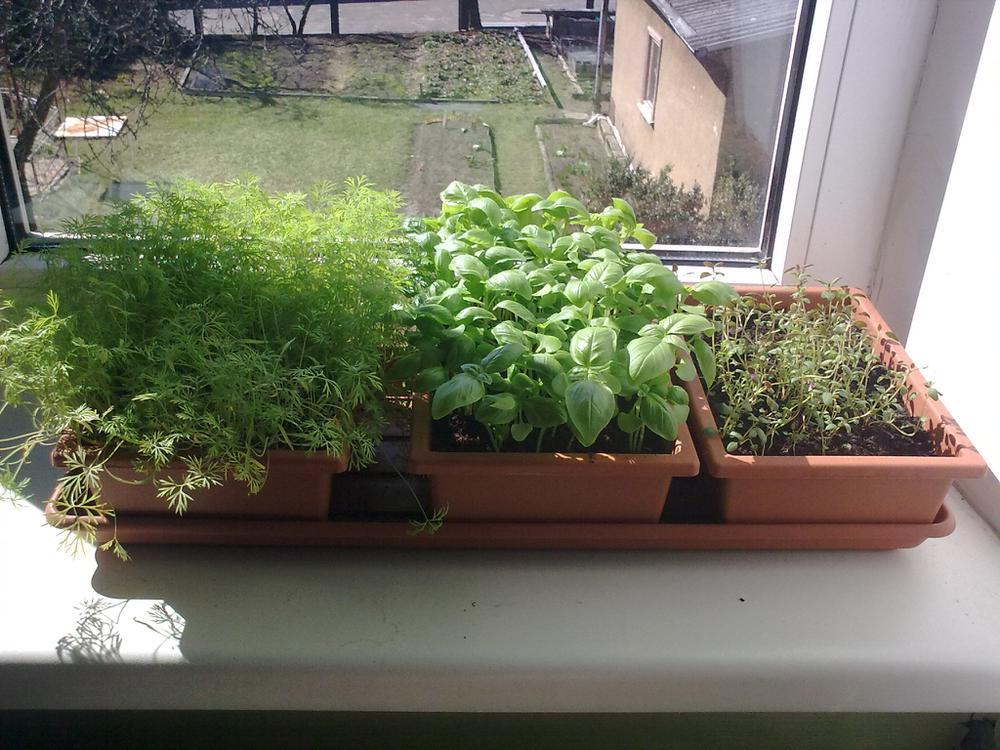 выращивание укропной зелени на подоконнике
