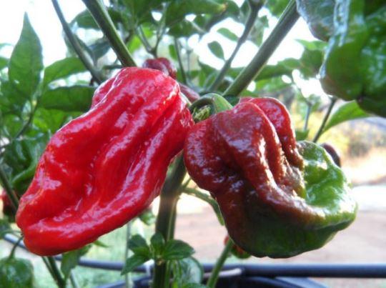 Шкала остроты перцев Pot Chili