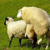 Разводит овец