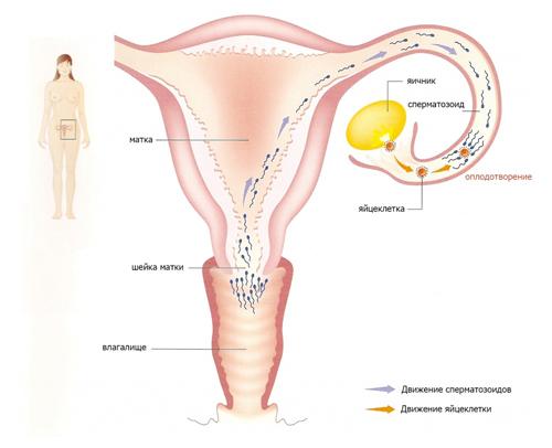 На каком сроке проявляется беременность