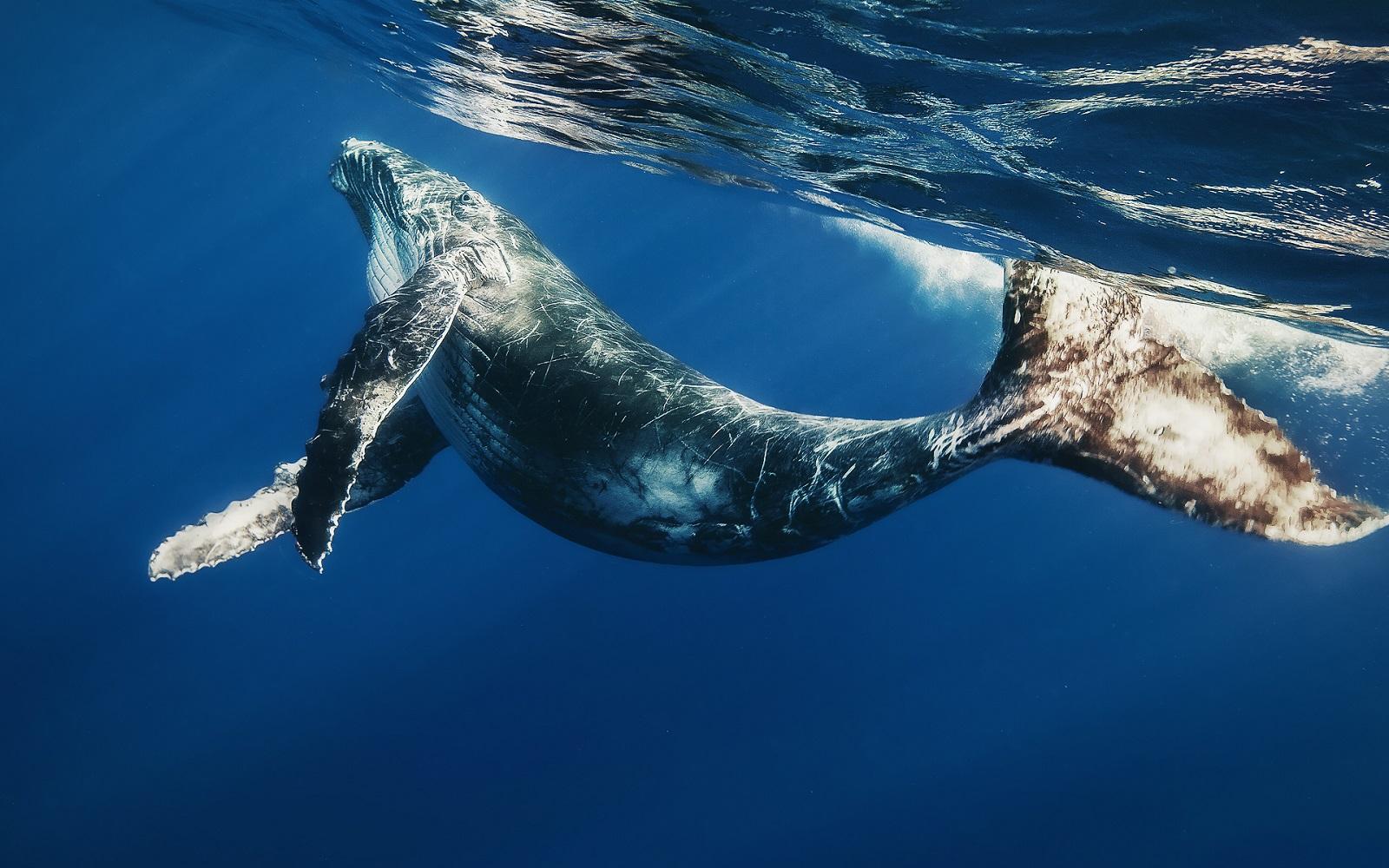 Остроспинный кит
