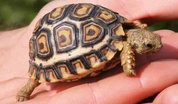 Снилась черепаха
