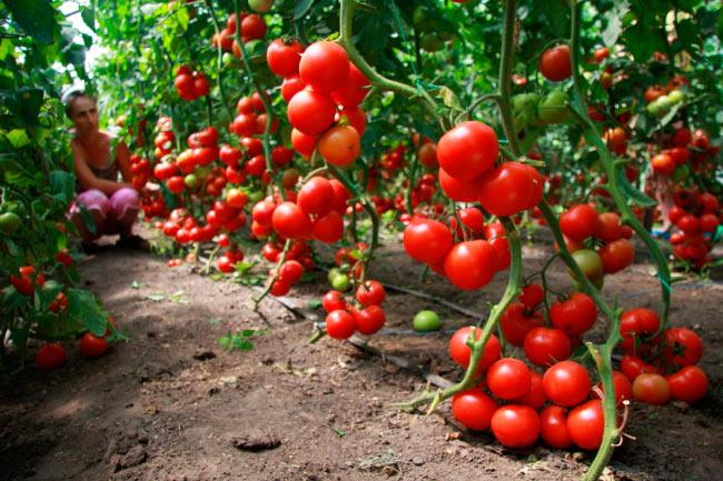 Бизнес выращивание помидоров в теплице