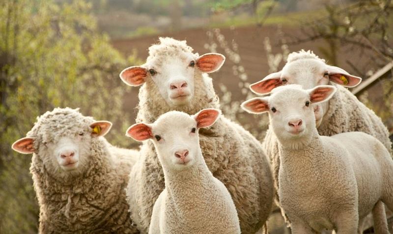 Овцы в кредит