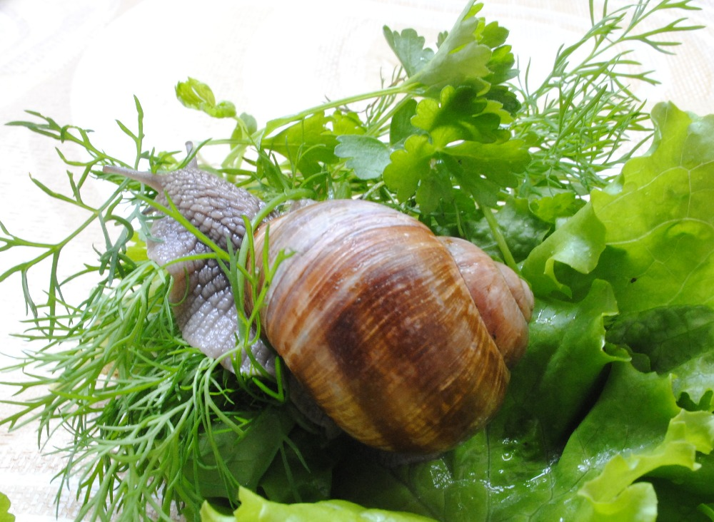 Buy live land snails