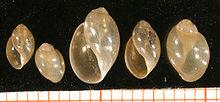 Physid snails