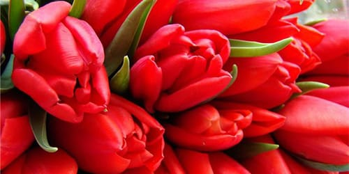 Тюльпаны сонник миллера