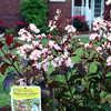 Rhapsody pink crape myrtle