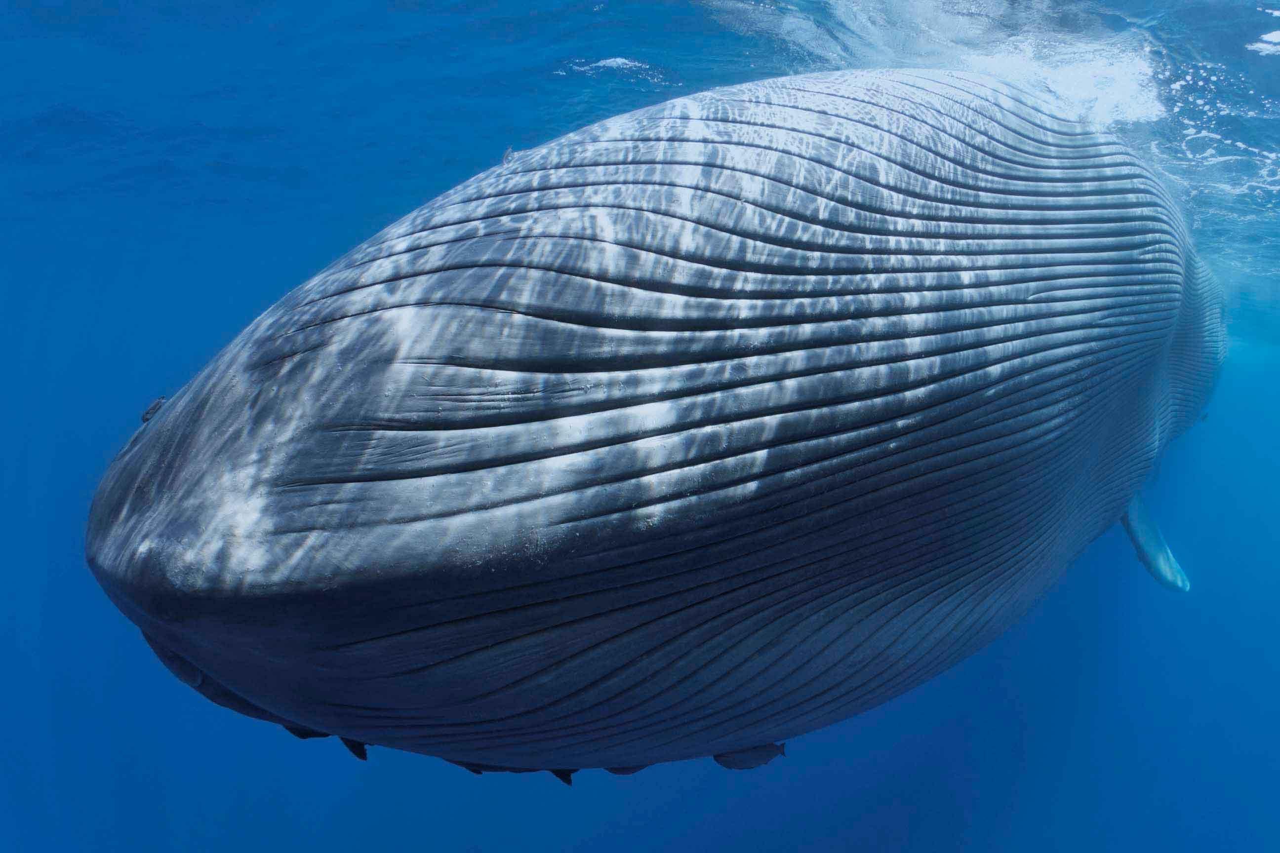 Синий кит выглядит впечатляюще