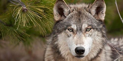 Сонник добрый волк
