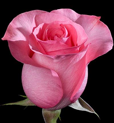 Фото розы пинк лав фото