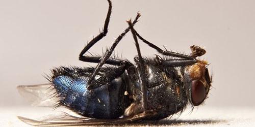 Сонник дохлые мухи