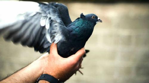 Держать во сне в руках голубя