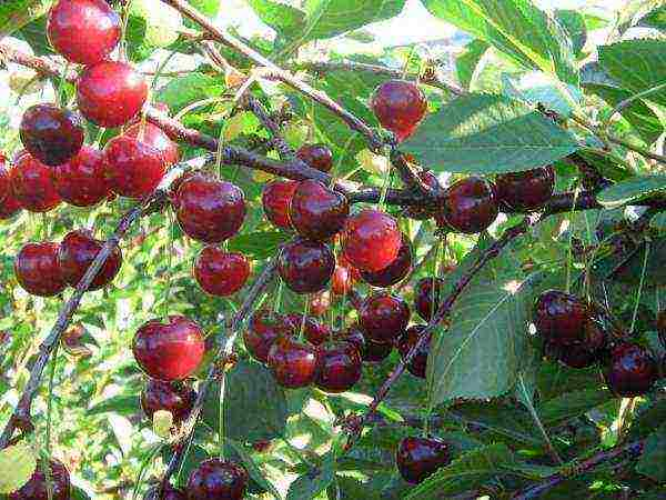 Низкорослые вишни сорта для средней полосы