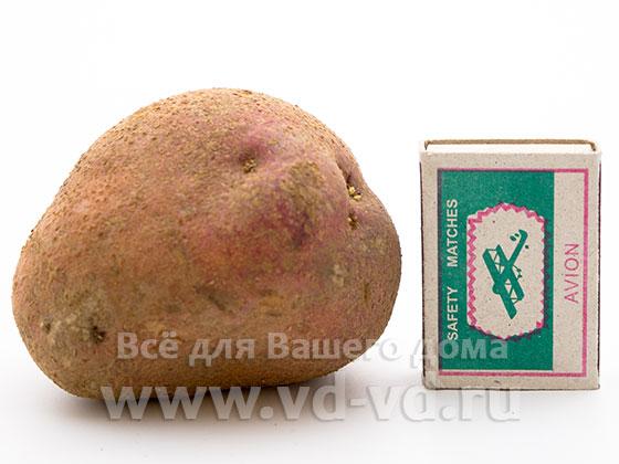 1 картофелина сколько грамм
