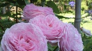 Роза джеймс галвей фото и описание