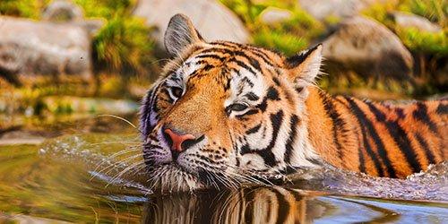 Приснился тигр