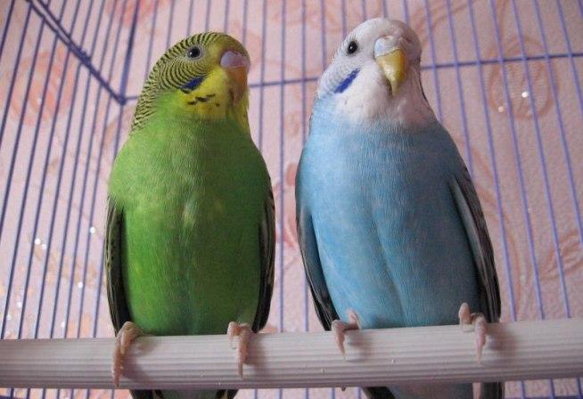 Чем отличается мальчик и девочка волнистых попугаев