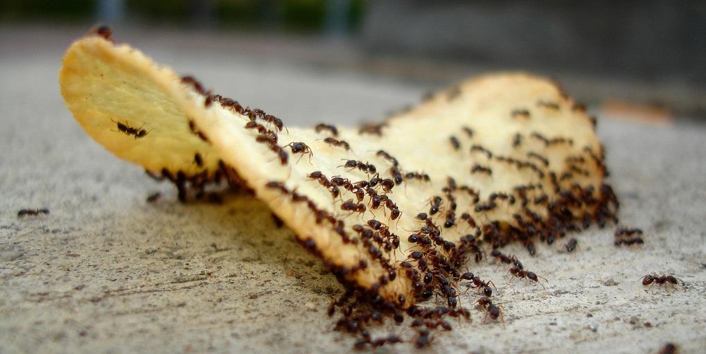 Как избавиться от домашних муравьев в доме