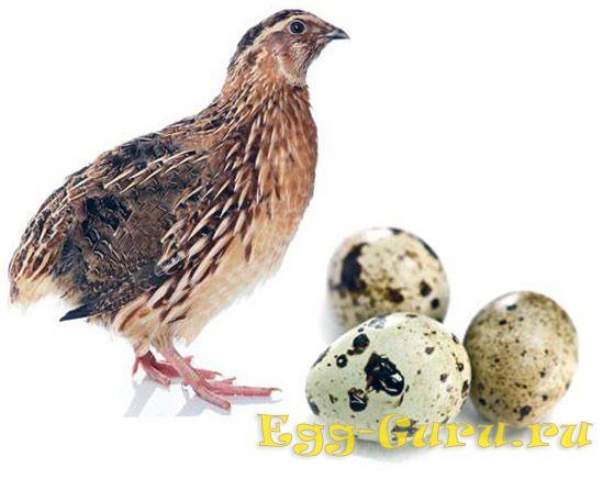 Вареное перепелиное яйцо калорийность