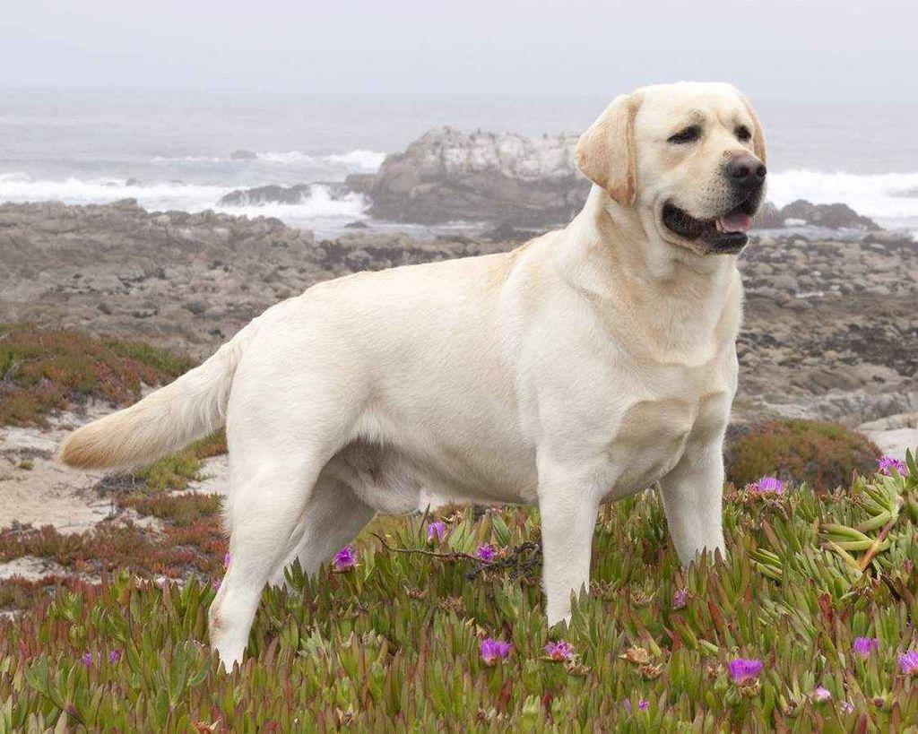 Породы добрых собак больших