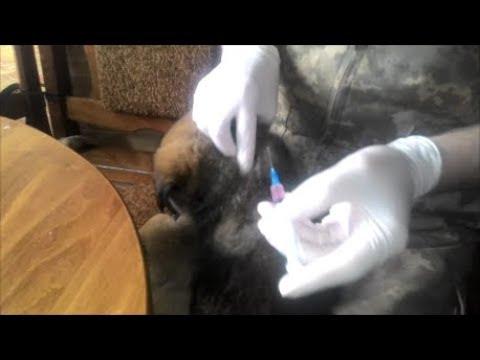Когда надо делать первые прививки щенкам