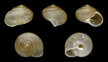 Asian snails