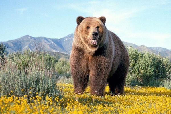 Сон про ведмедя
