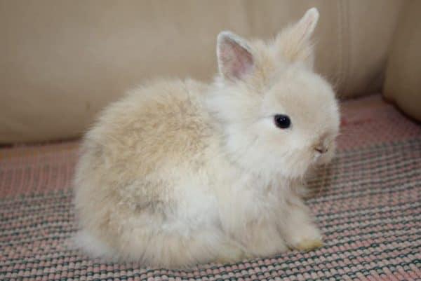 Как разводить кроликов декоративных в домашних условиях