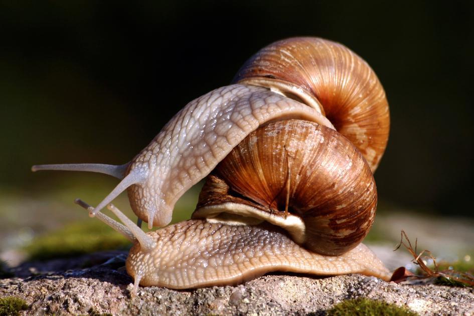 Do snails have sex