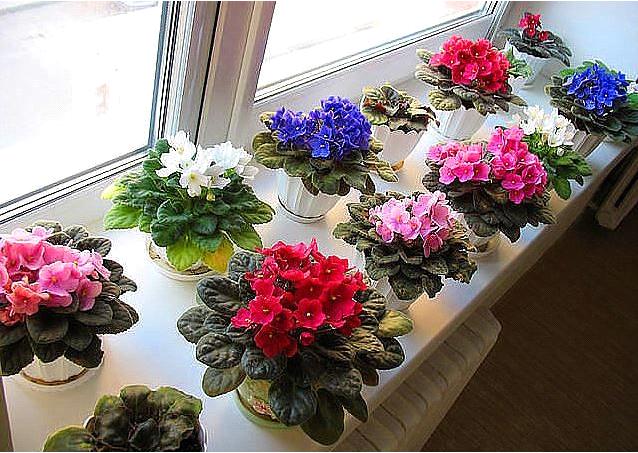 Почему не цветет фиалка дома