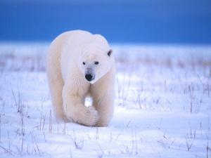 Масса взрослого медведя
