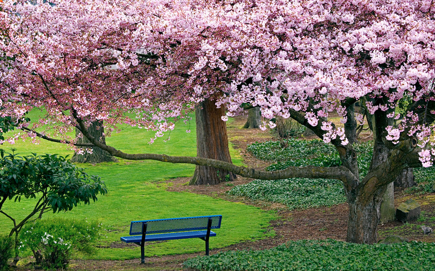 Сонник вишня дерево с плодами