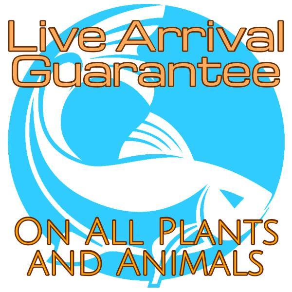 Buy nerite snails