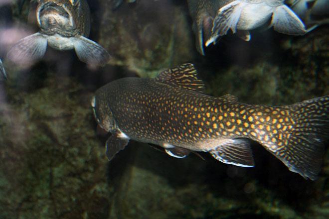 Разведения рыбы